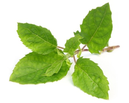 holy-basil-on-white